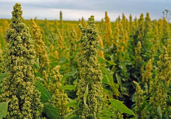 Quinoa slide1