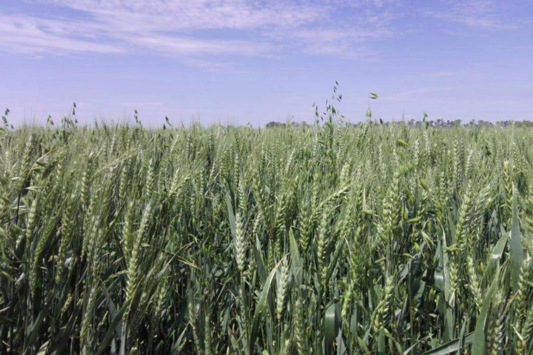 HB4_wheat.jpg