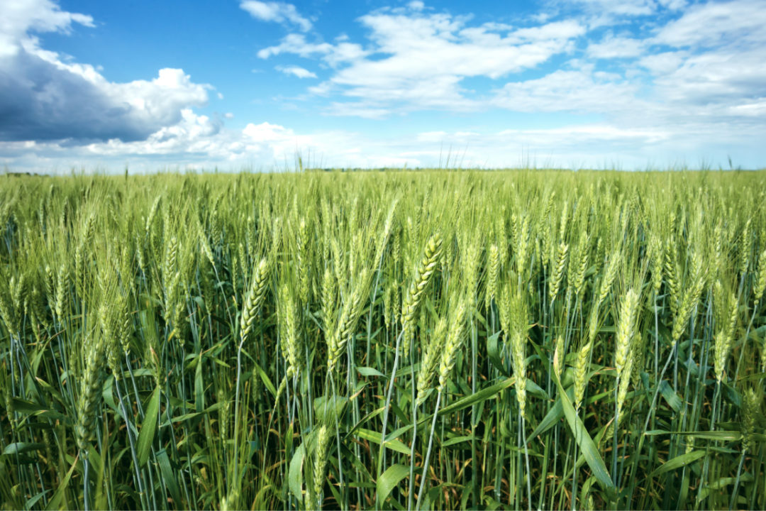 spring-wheat_photo-cred-adobe-stock_E.jpg
