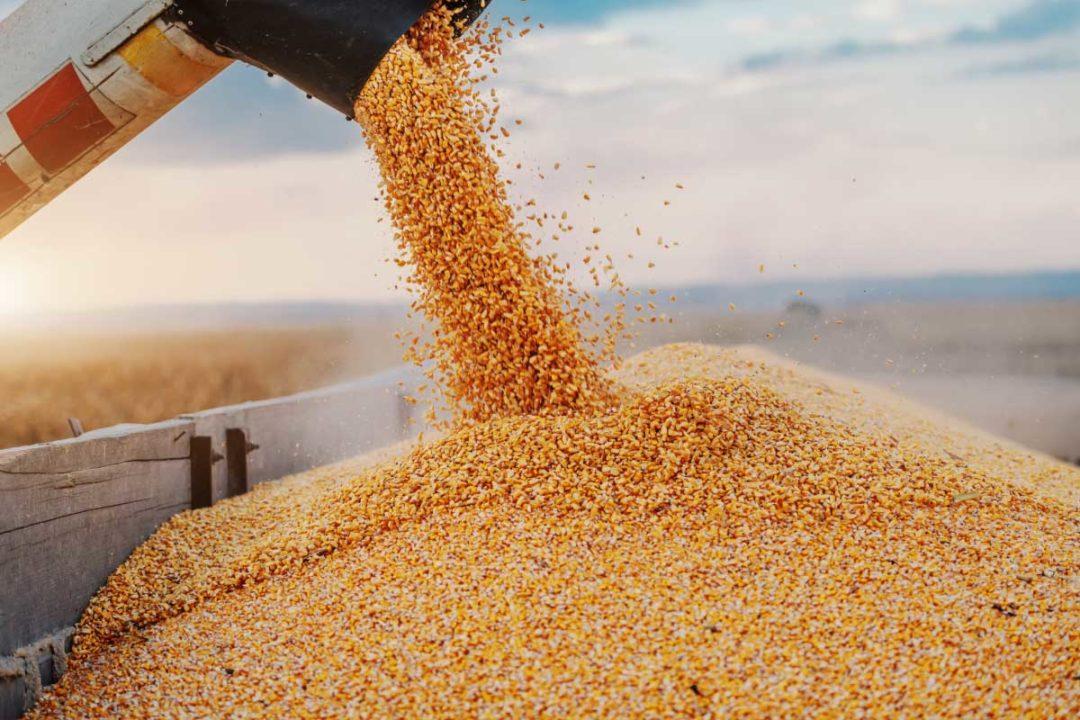 Zambia Corn, Corn
