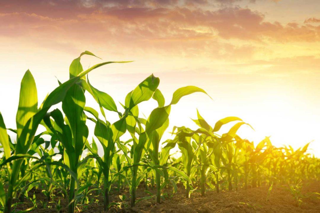 Corn Myanmar