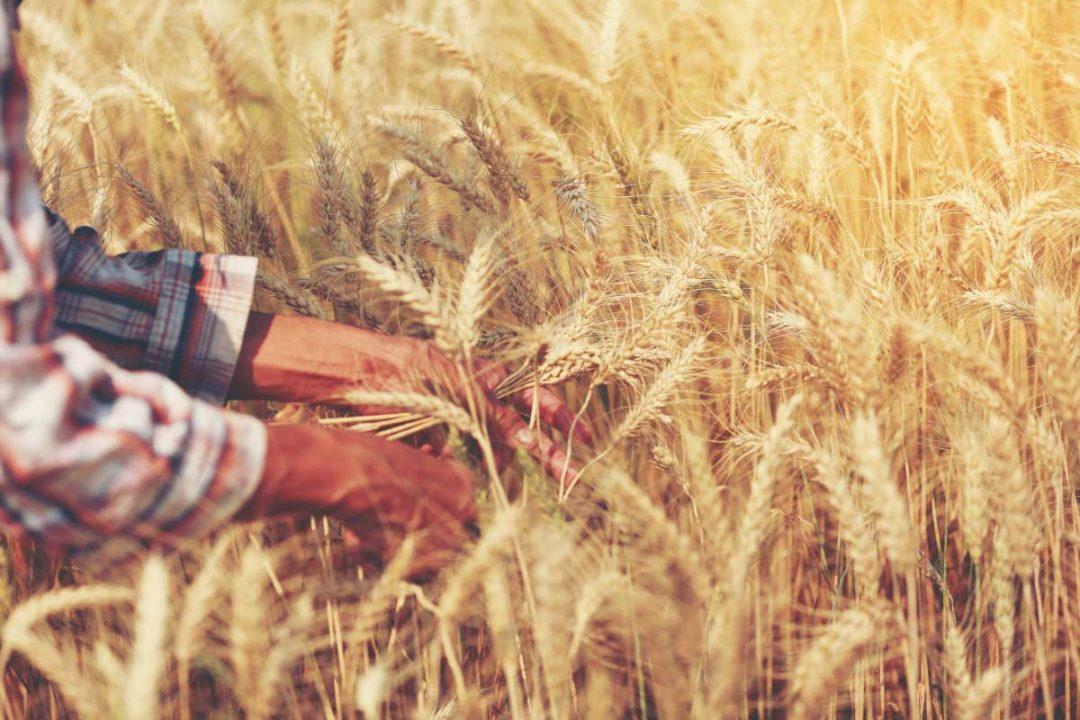 Wheat Rx
