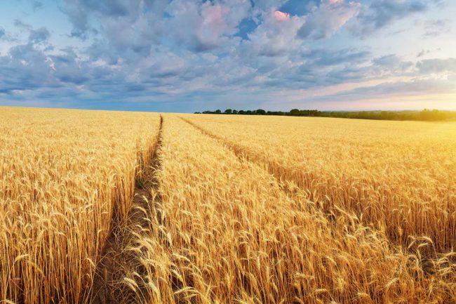 Adobe Stock, Wheat Field