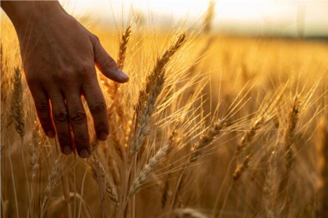 UK-milling-wheat.jpg