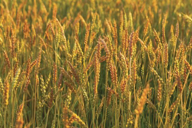 Durum_Photo-cred-Adobe-stock_E.png
