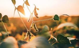 Soybean field photo cred adobe stock ejpg