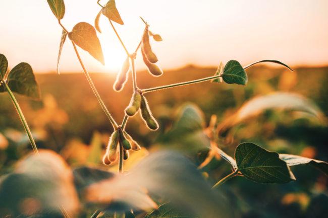 Soybean-Field_Photo-cred-Adobe-stock_Ejpg.jpg