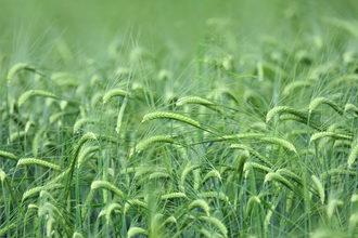 Barley_phot-cred-adobestock
