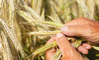 Cgc wheat inspection photo cred adobestock jochen netzker