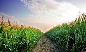 Corn_photo-cred-adobe-stock