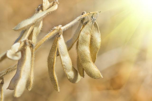Soybean_photo-cred-adobe-stock