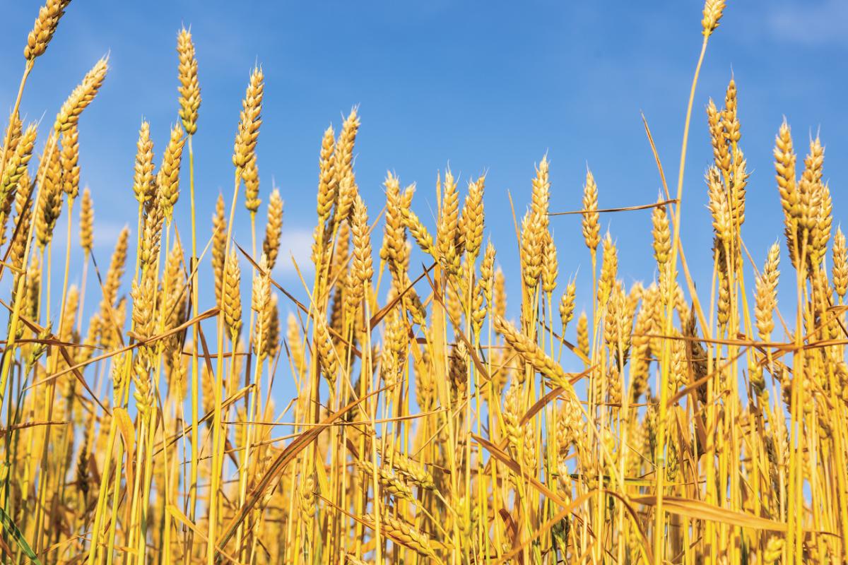 U S  organic hard wheat prices higher in June-July | 2018-08