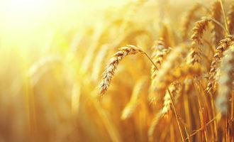 Wheat_adobestock_100962224