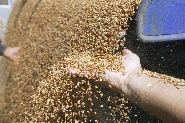 Wheat_AdobeStock_54123972