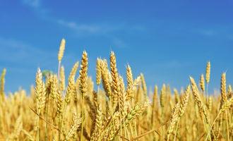 Wheat_adobestock_61259042_e