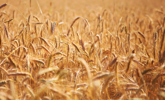 Wheat_photo-cred-adobe-stock