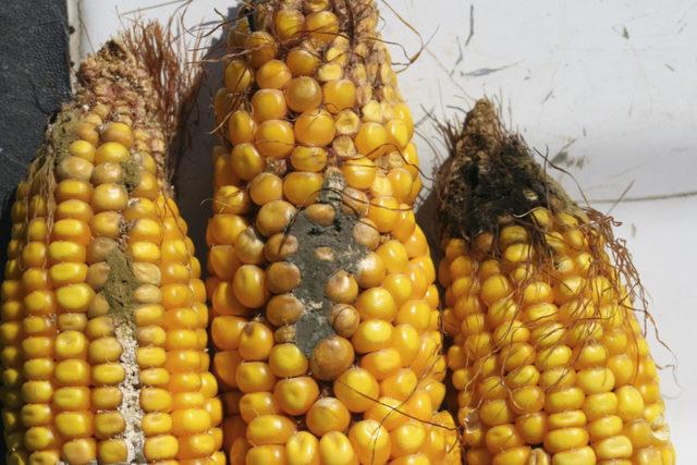 Mycotoxin-corn_photo-cred-texas-am-agrilife-exstension_e