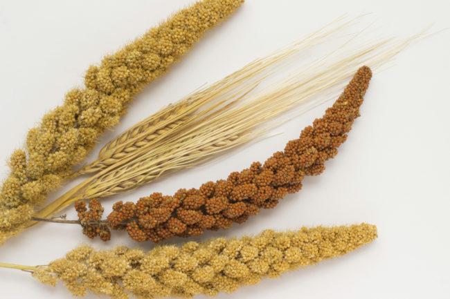 sorghum wheat