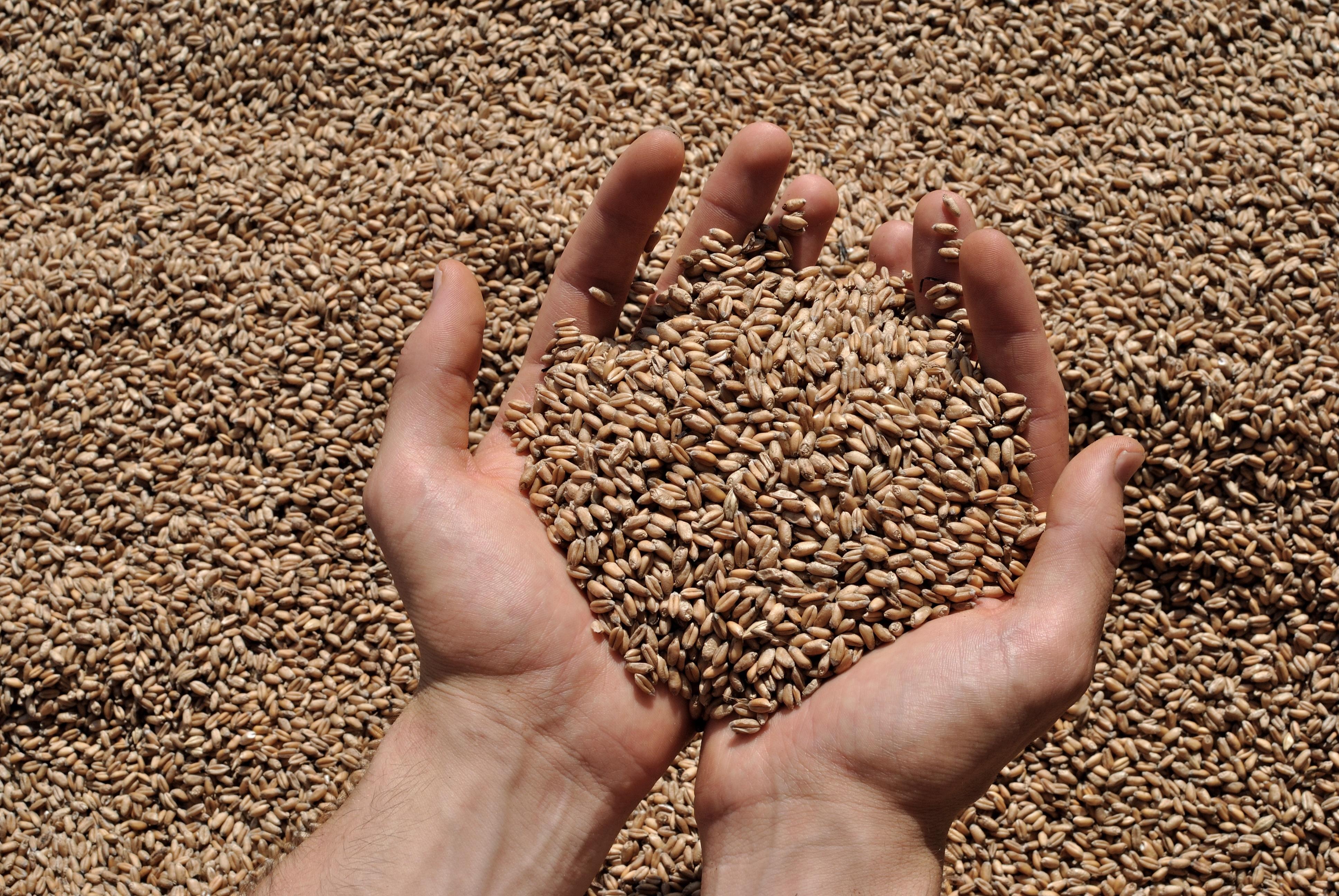 Wheat_grain_adobestock_86732566