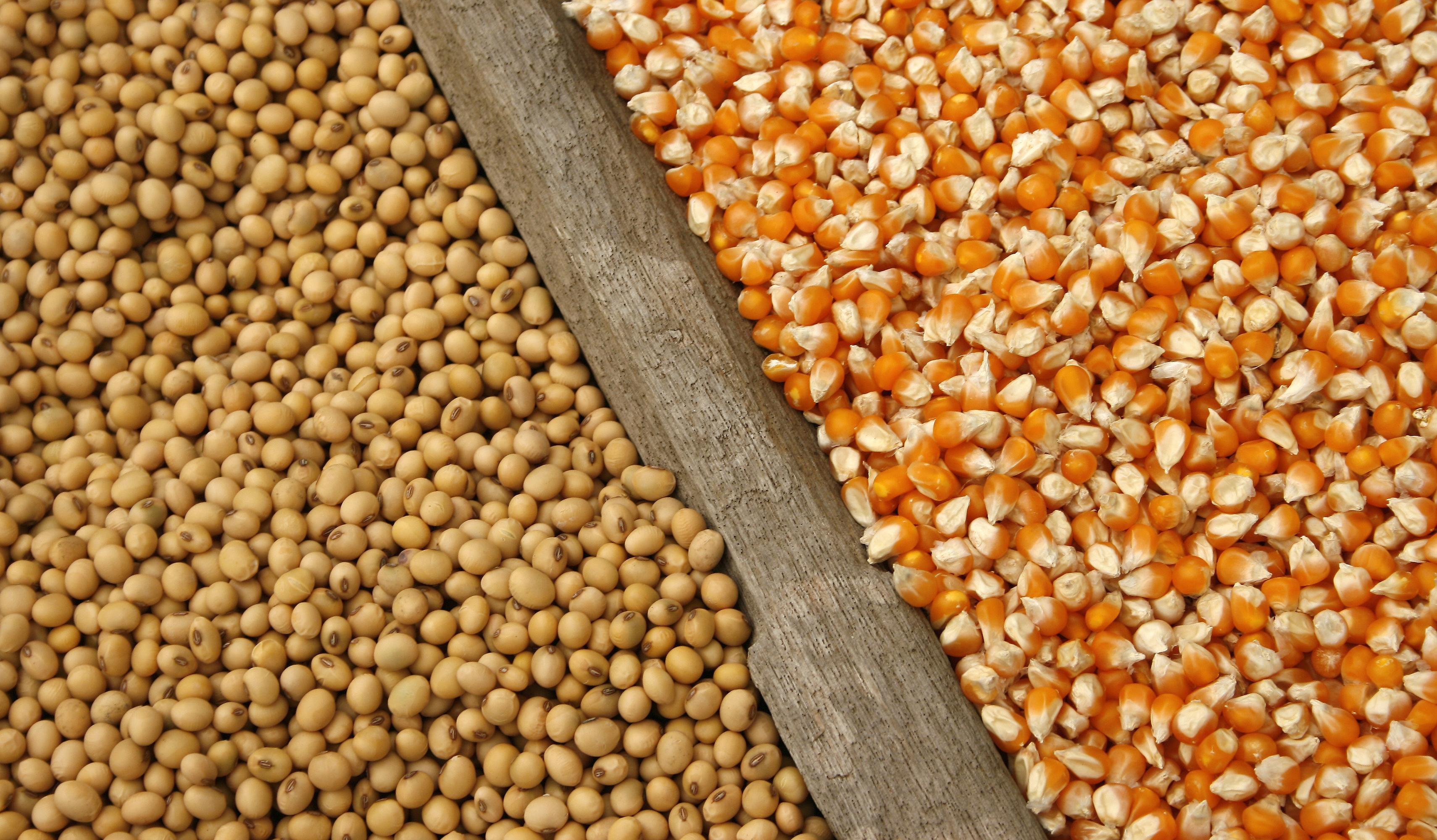 corn soybean
