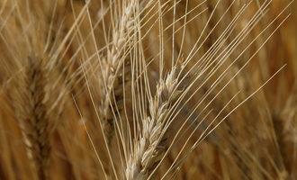 Ksu_wheat-diagnostic-school-photo_photo-cred-ksu