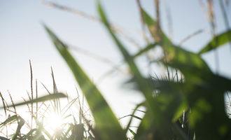 Land-o-lakes-sustain_corn_photo-cred-land-o-lakes-sustain_e