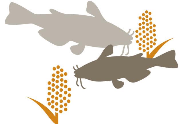 USGC sorghum feed trials
