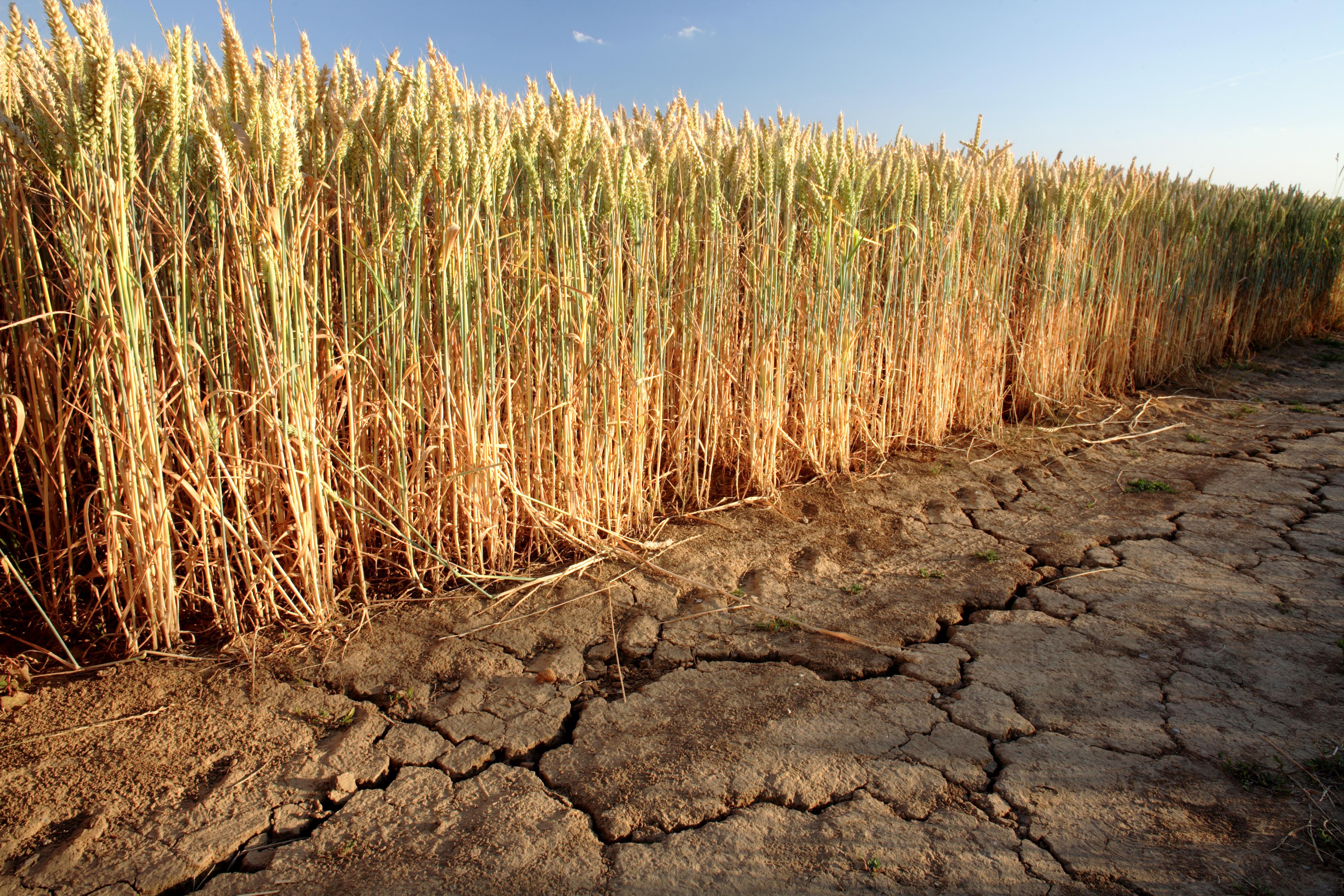 Wheat-dought_adobestock_24231357