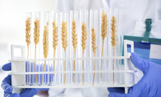 Wheat_biotechnology_photo-cred-adobestock_e