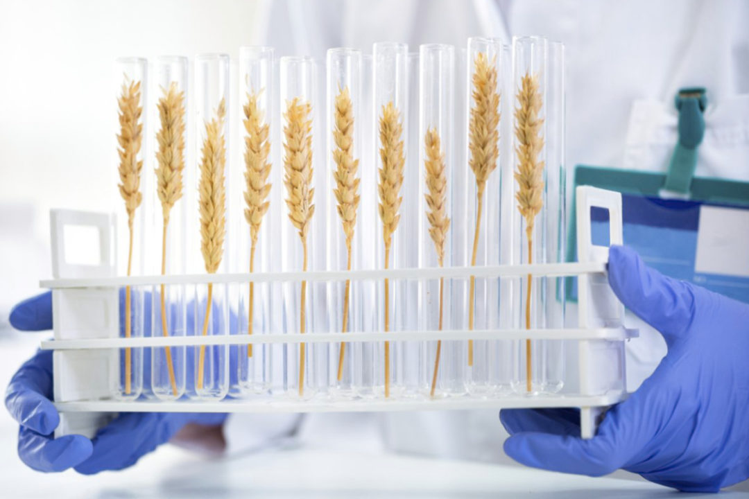 wheat genetics