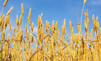 Wheat_-photo-cred-adobestock_e