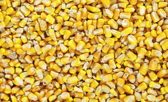 Corn_adobestock_180247328_e