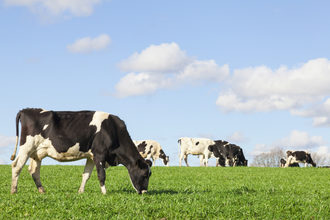 Dairy-cow_adobestock_99062012_e