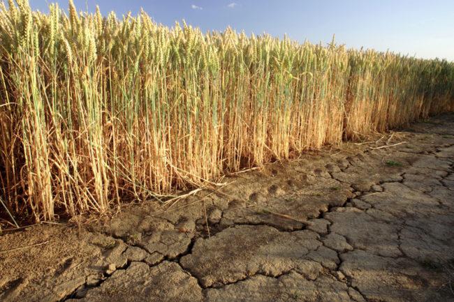 drought hit wheat field