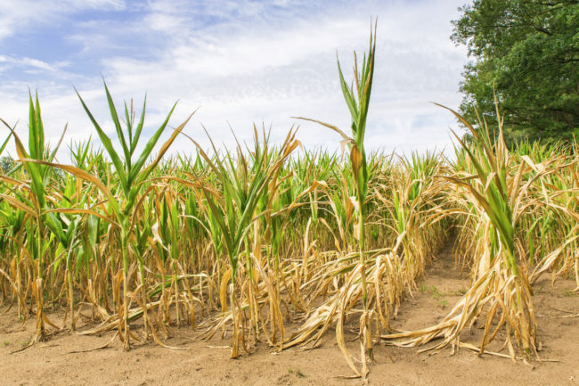 corn growing in drought