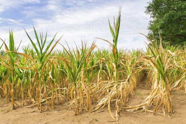 corn growing in drought