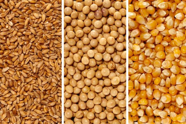 wheat corn soybean