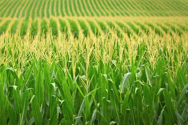 Corn_photo-cred-adobestock_e