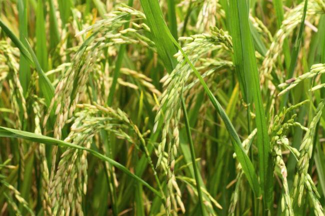 GMR rice