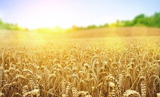 Wheat_adobestock_51266314_e