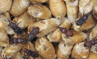 Win-the-battle-against-stored-product-pests_pests_shutterstock_759856270_e