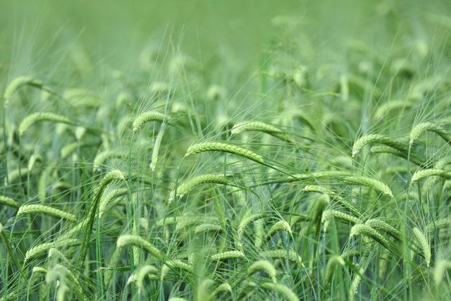 Barley_adobestock_89413730_e