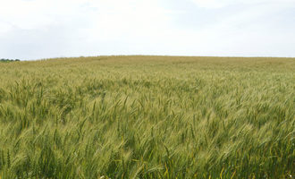 Wheat_adobestock_114071477_e