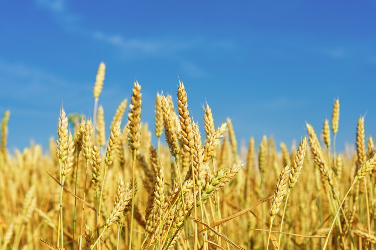 U S  organic wheat prices remain strong to start the year