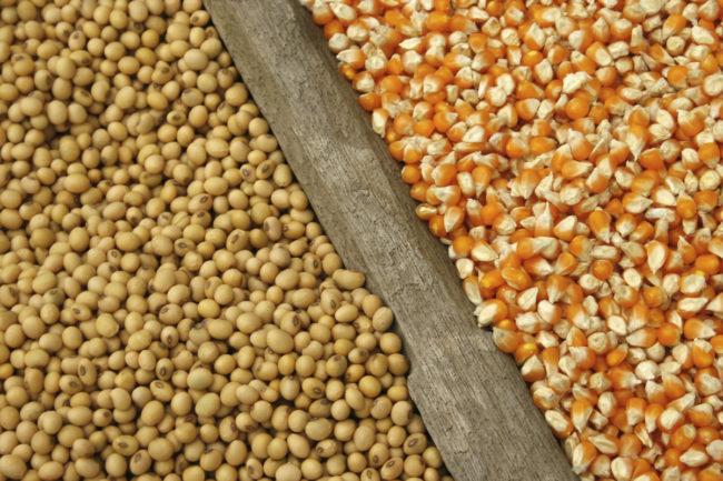 corn soybeans