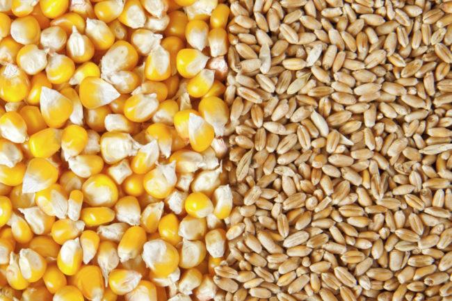 wheat and corn