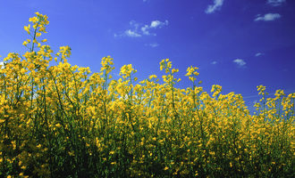 Canola-council-of-canada_canola-field_photo-cred-ccc_e