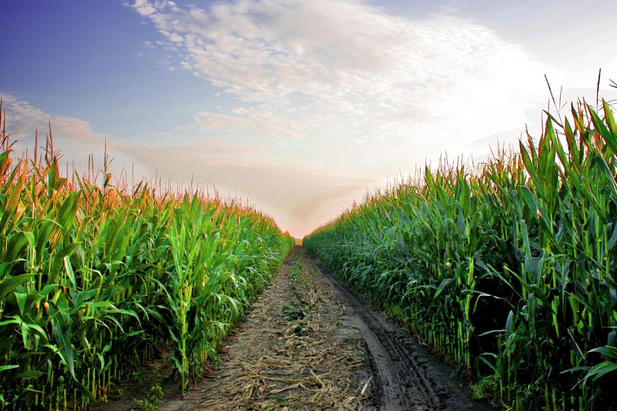 Brazilian corn production on the upswing   2019-04-12