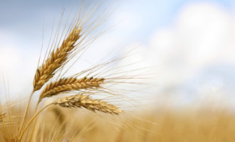 Wheat_photo-cred-adobestock_e