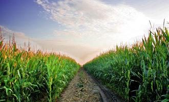 Corn phot cred adboe stock e